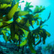 How important are seaweed in the marine eco-system